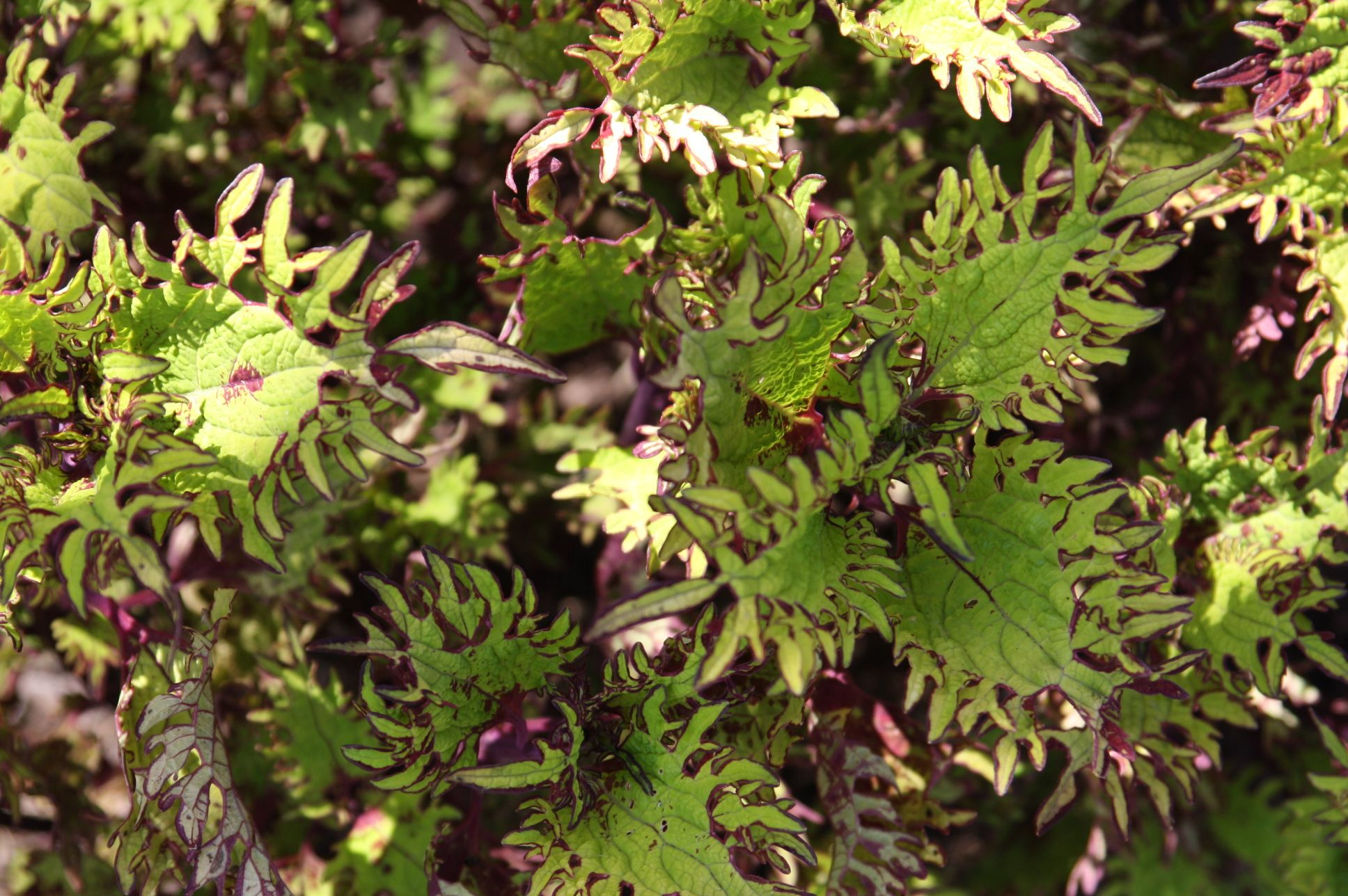 Coleus Under The Sea - Gold Anemone from Haut Corture
