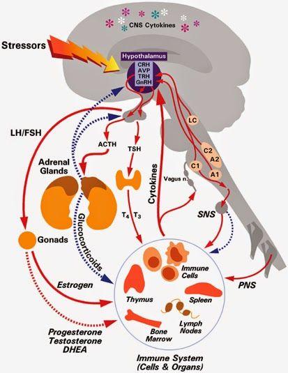Resultado de imagen para eje hipotalámico-pituitario-adrenal