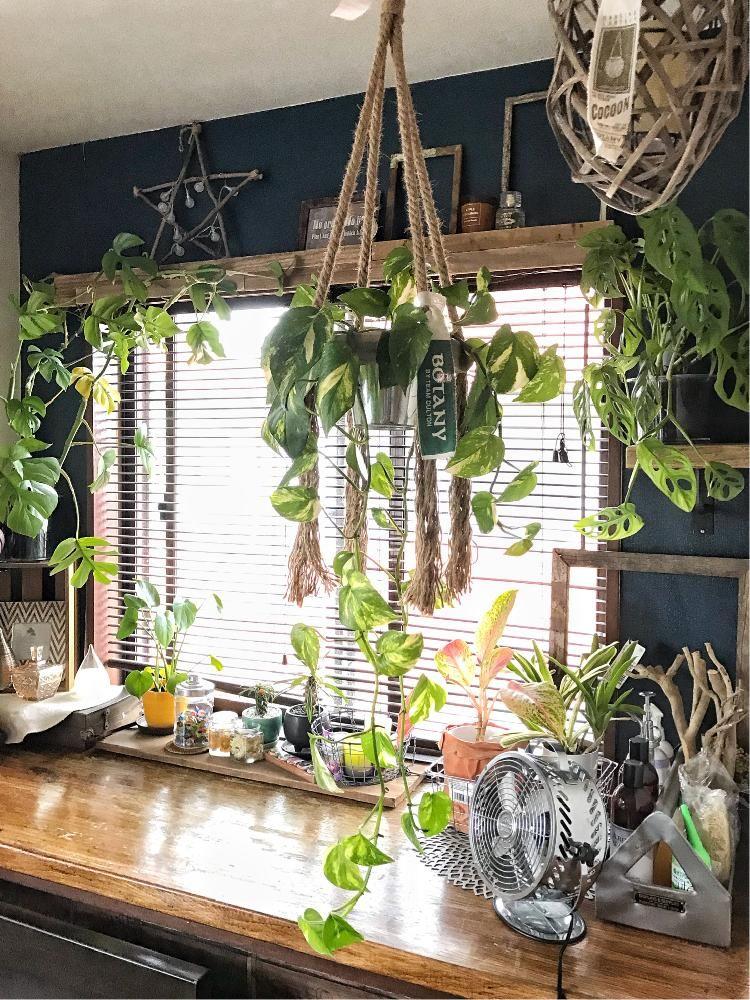 寝室出窓前の天井から吊ってるポトス 現在70cm 葉のボリューム感が