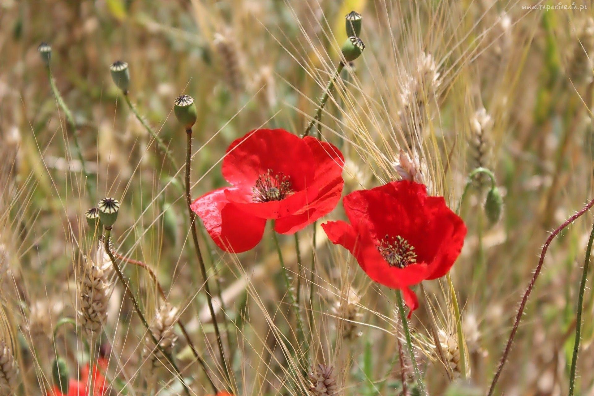 Zboze Klosy Pszenicy Maki Flowers Poppies Yellow Flowers