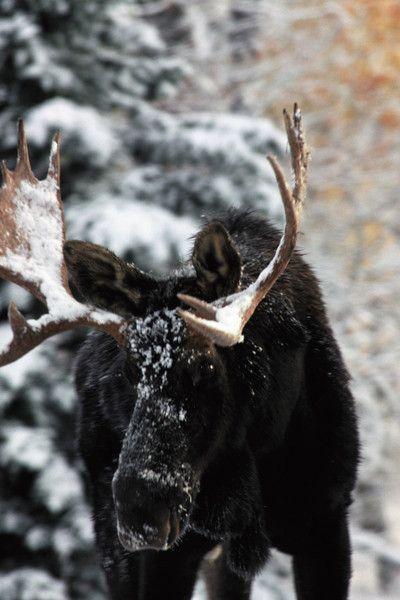 Bull #Moose | snowzine.com