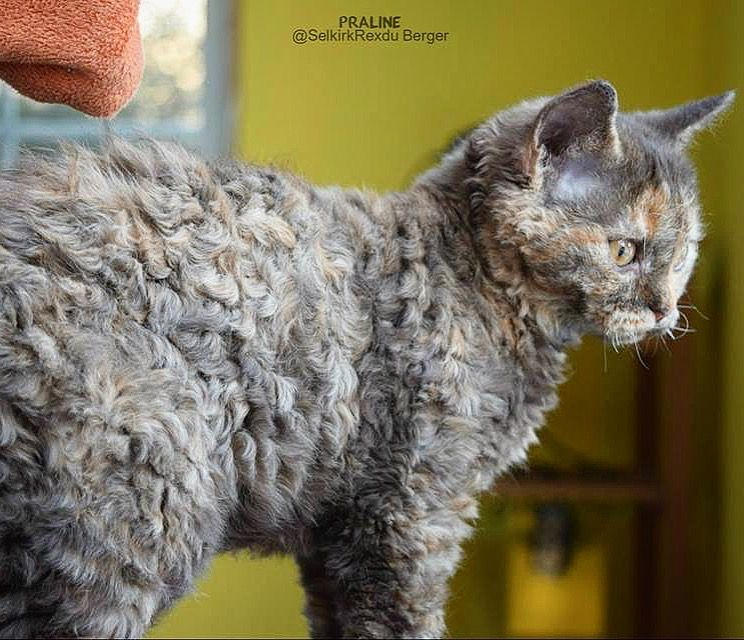 Praline Selkirk Rex Chat Mouton Quebec Canada Curly Cat