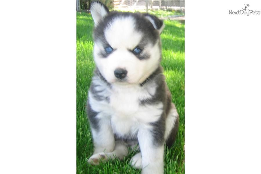 Meet Female A Cute Siberian Husky Puppy For Sale For 500