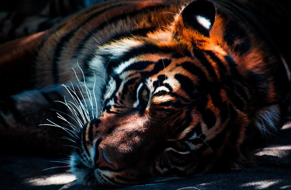 Zitate - Weisheiten - Tiger | Der tierische Makler