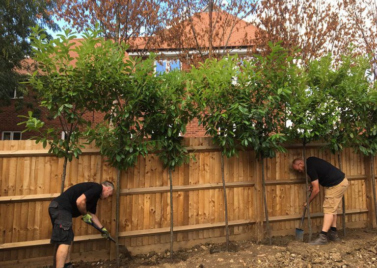Screening trees create privacy for an overlooked garden on a new build estate