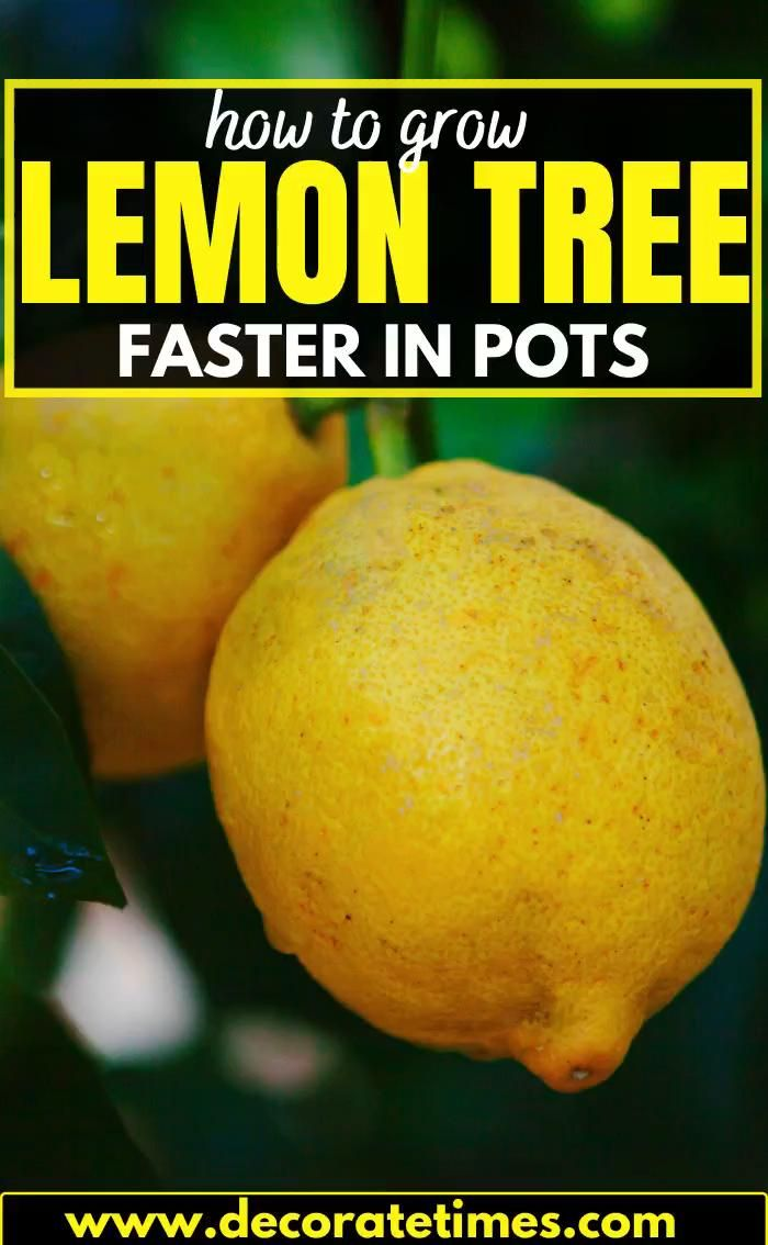 How To Grow Lemon Tree Faster In Pots Video How To Grow Lemon Lemon Tree Growing Lemon Trees