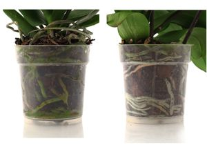 Orchid Roots And Drainage Orchid Care Just Add Ice Orchids Orchid Roots Orchid Care Phalaenopsis Orchid