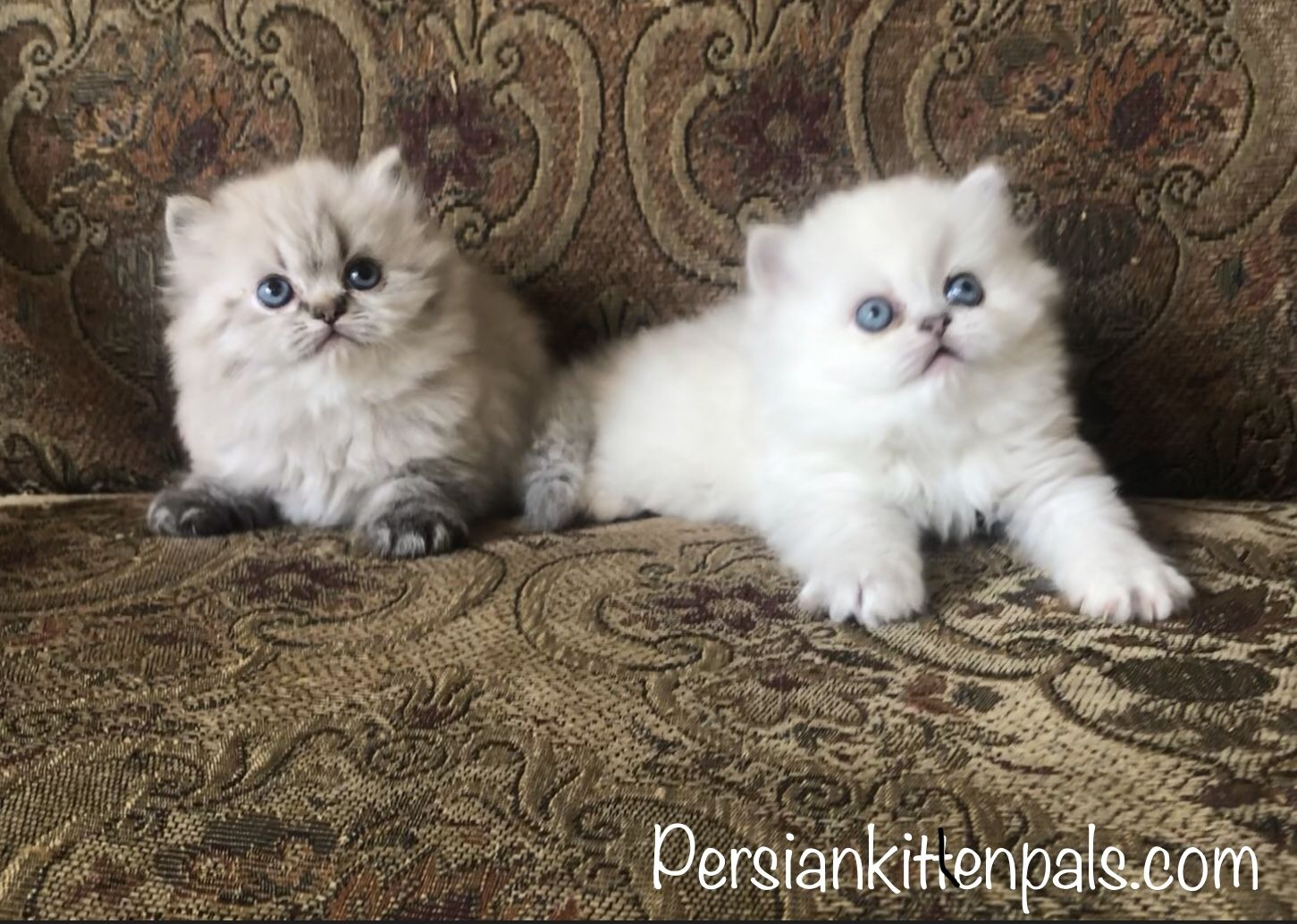 Sweet Lilly and Beau persian
