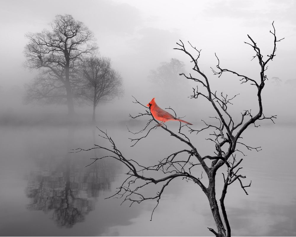 Red cardinal bird home decor wall art photo print b w for Black and white bathroom wall decor