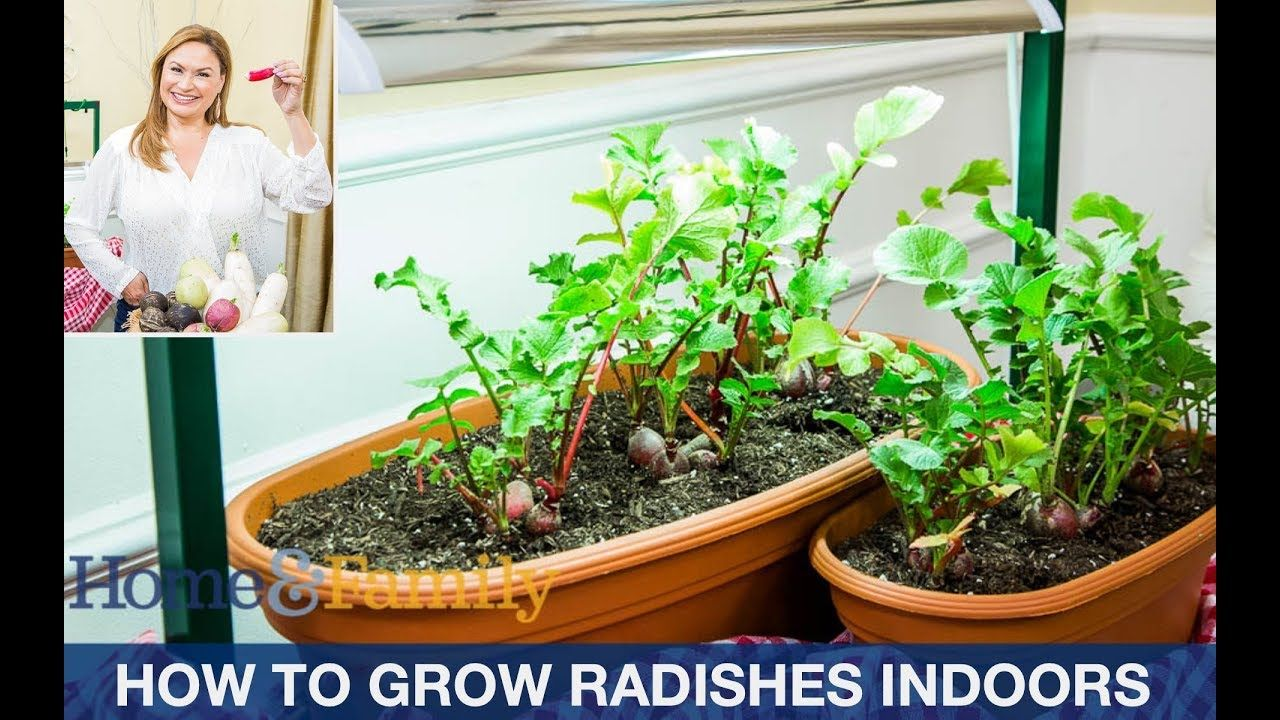 Growing Radishes In Containers From Seed Step By Step Growing