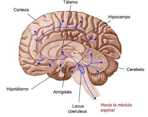 locus-coeruleus | Brain anatomy and function | Pinterest