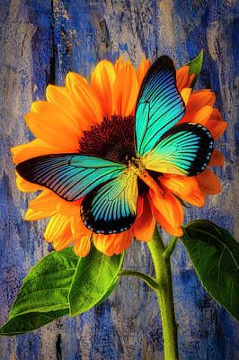 Big Blue Butterfly On sunflower by Garry Gay