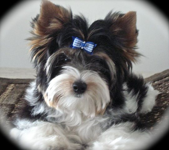 This Is A New View Of Chester Gorgeous Boy Yorkshire Terrier