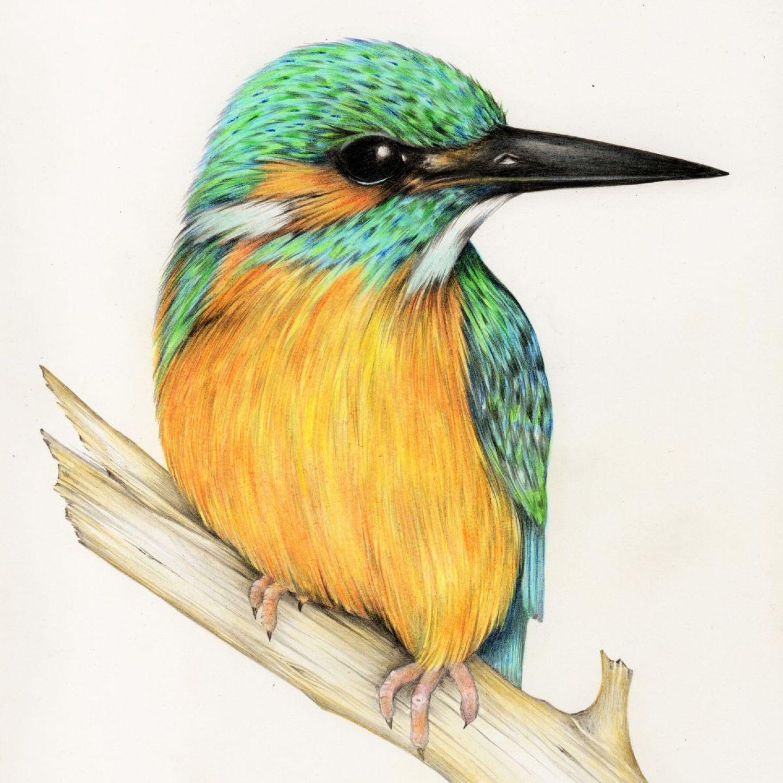 Kingfisher. (2016) Pencil drawing by Sara Westaway ...
