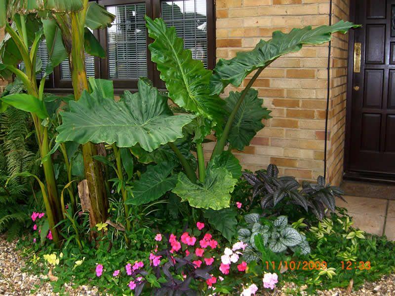 Alocasia X Portora Hardy Tropicals Uk In The Garden