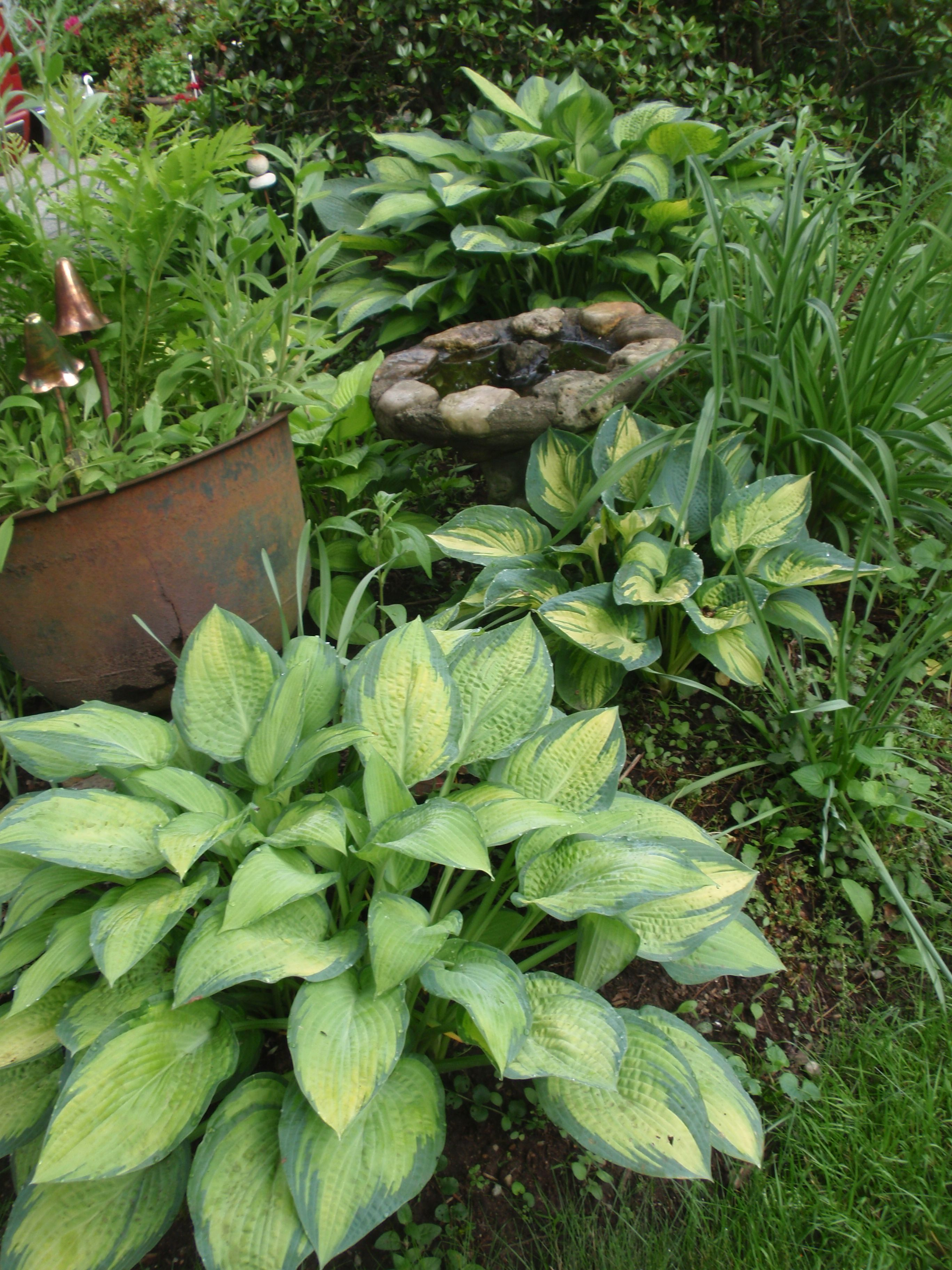 Hosta Twist of Lime      small garden plant at maturity