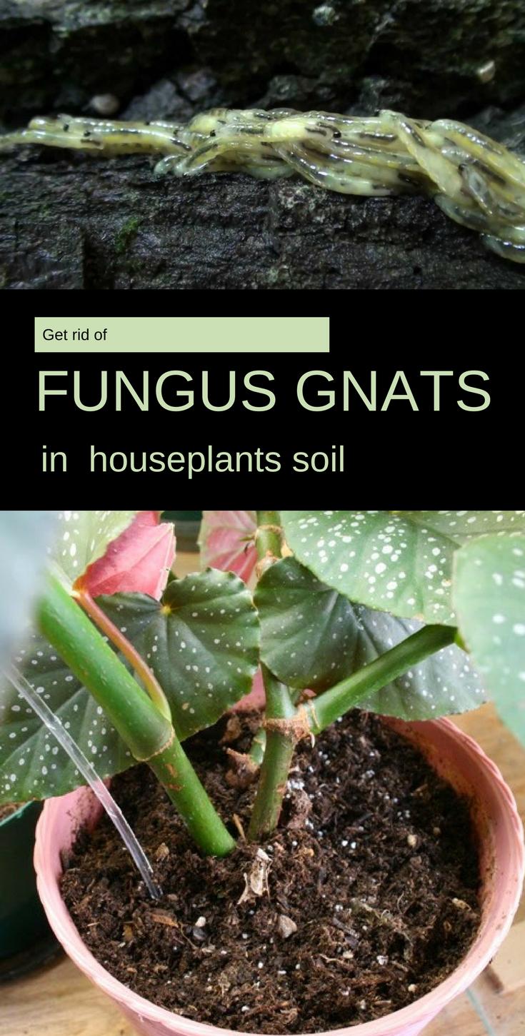 Get Rid of Fungus Gnats in Houseplants Soil ...