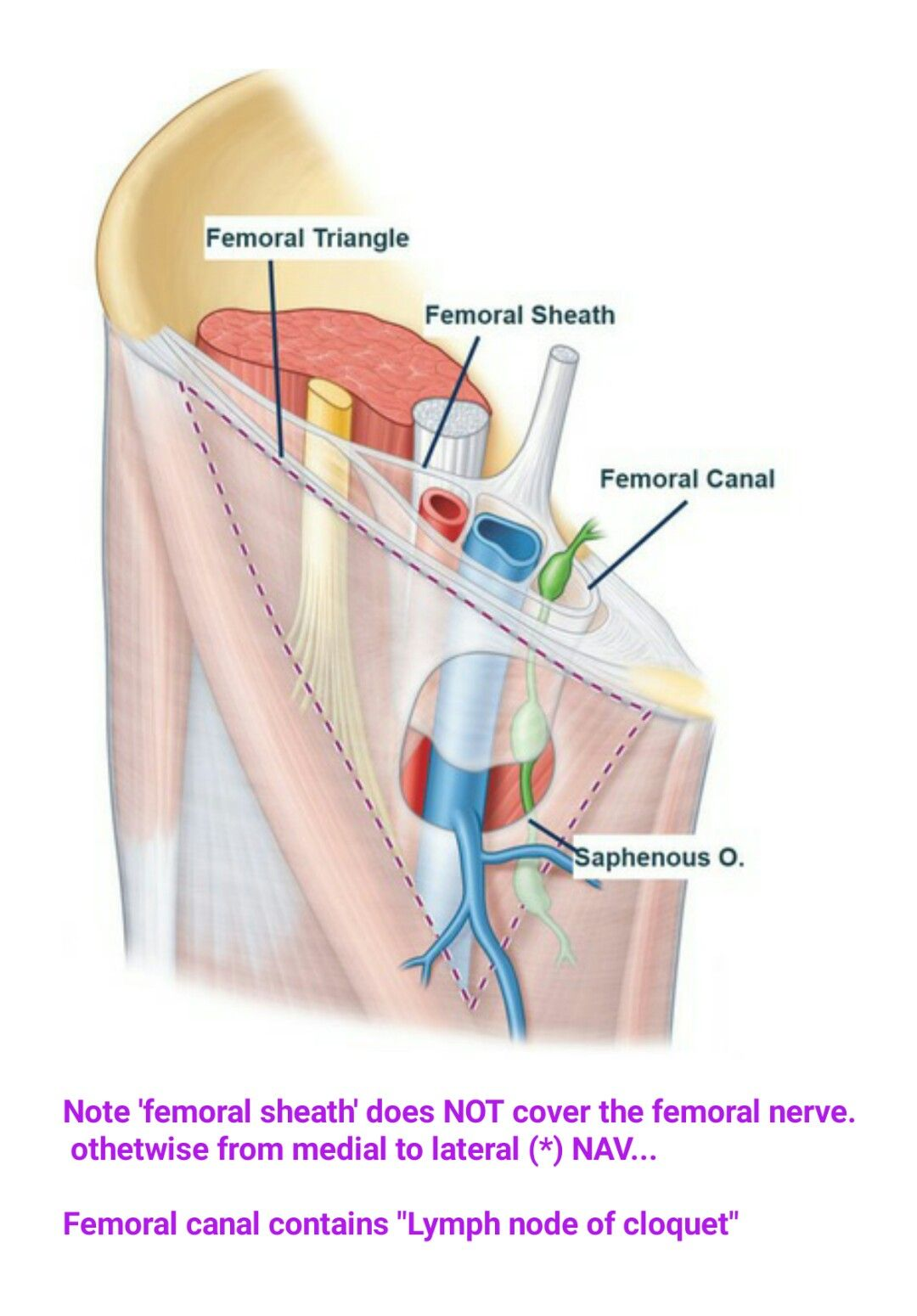 Femoral sheath & canal... ( Correction : From Lateral to Medial ...