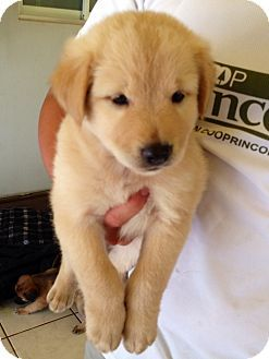 Pennigton Nj Golden Retriever Border Collie Mix Meet Avalanche