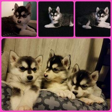Siberian Husky Puppy For Sale In Ottawa Oh Adn 51244 On