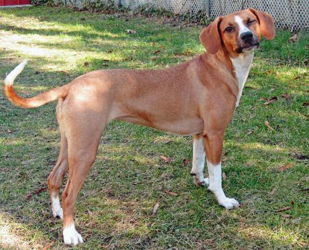 Italian Greyhound Beagle Dog Images Beagle Mix Beagle