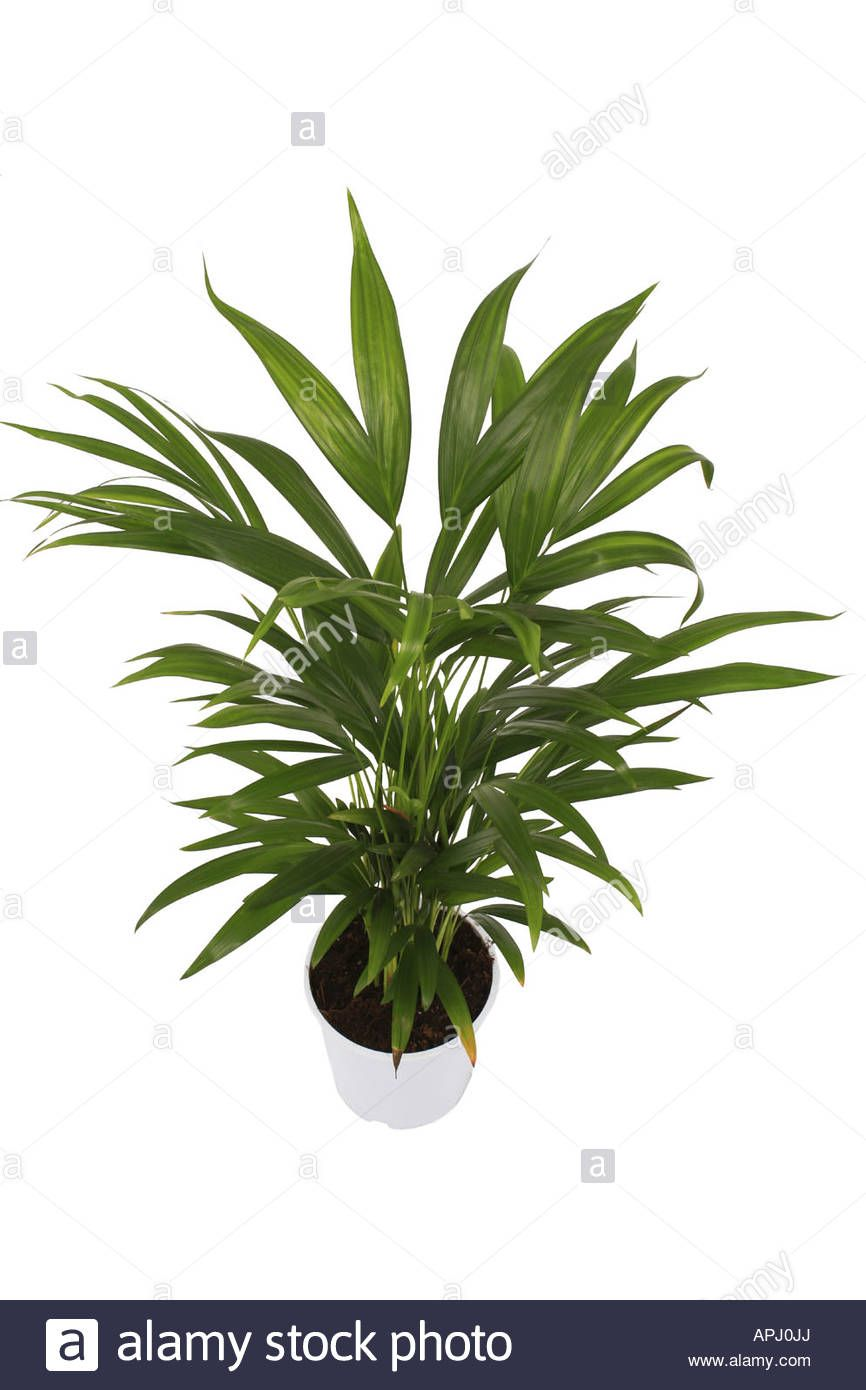 Chrysalidocarpus Space For Life Chrysalidocarpus Lutescens Stock Photos Chrysalidocarpus