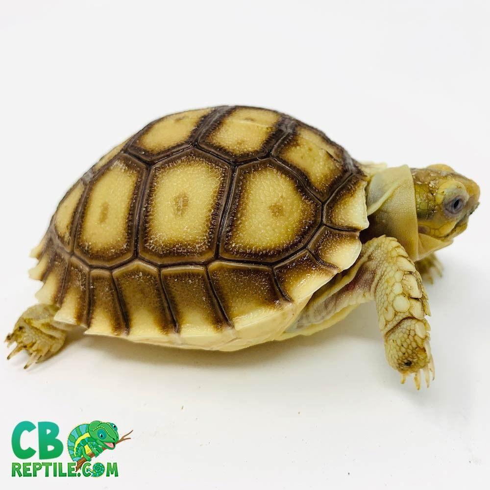 Tortoise For Sale Sulcata Tortoise Sulcata Tortoise For Sale Baby Tortoise
