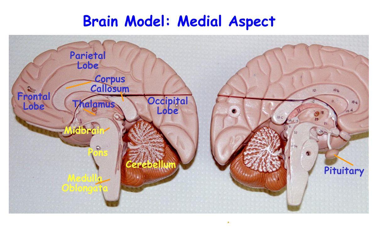 Labeled Brain Anatomy Bilder Brain Models Brain Anatomy Corpus Callosum