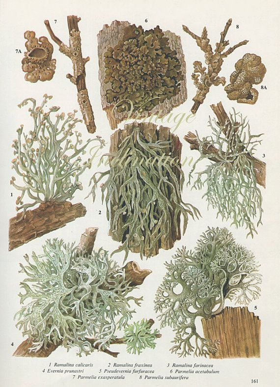 Vintage Antique WOOD LICHEN illustration by VintageInclination, $9.98