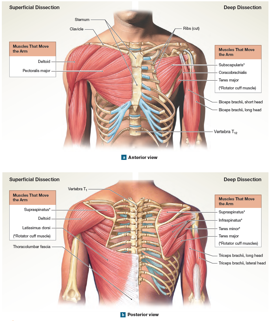 hight resolution of the muscles that move the arm