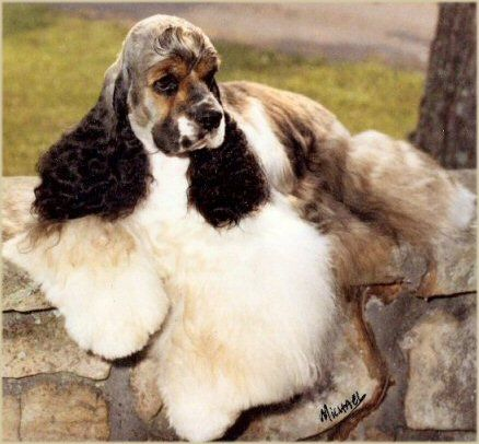 Black Sable And White Parti Dudley American Cocker Spaniel