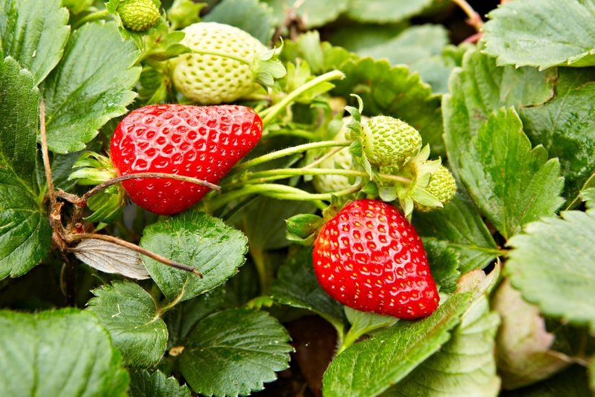 Albion Strawberry The Perfect Dessert Strawberry Due To Its High Sugar Content Bursting With Potted Strawberry Plants Strawberry Plants Growing Strawberries