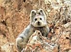 World's cutest endangered animal photographed for first time in over 2 decades