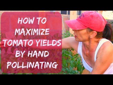 How Do I Self-Pollinate Tomato Plants? - YouTube