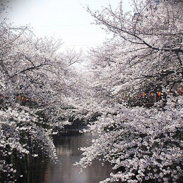 目黒川の桜 #sakura #cherryblossom #japan #meguro - @qazunori- #webstagram