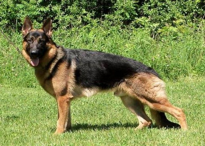 Akc German Shepherd Puppies For Sale From North America S