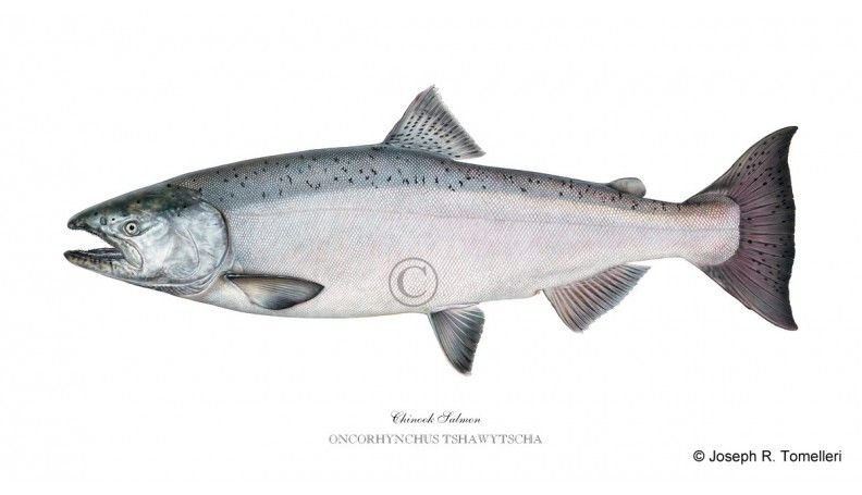 Chinook Salmon Illustration By Joe Tomelleri Fish Salmon