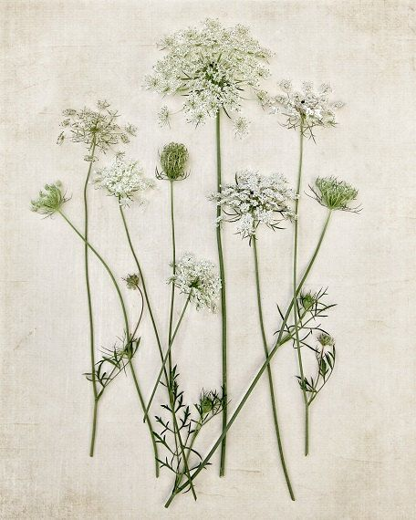 Botanical Print Queen Annes Lace Minimal Minimalist Field Flowers