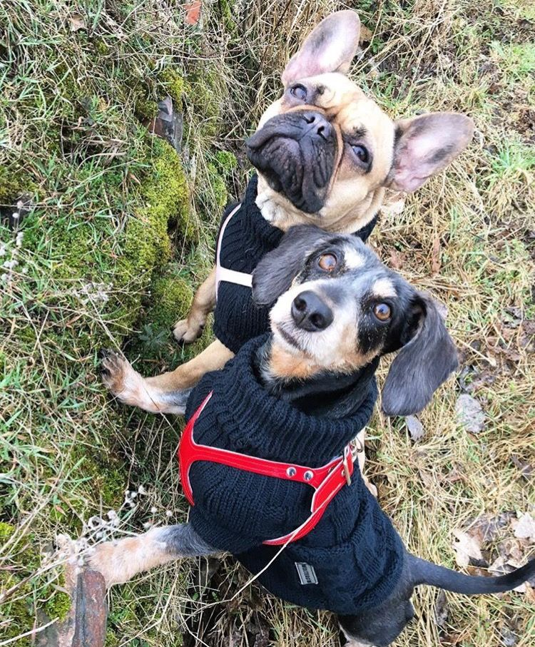 Best Friends And Sweater Sister Dogs Frenchie And Schnauzer