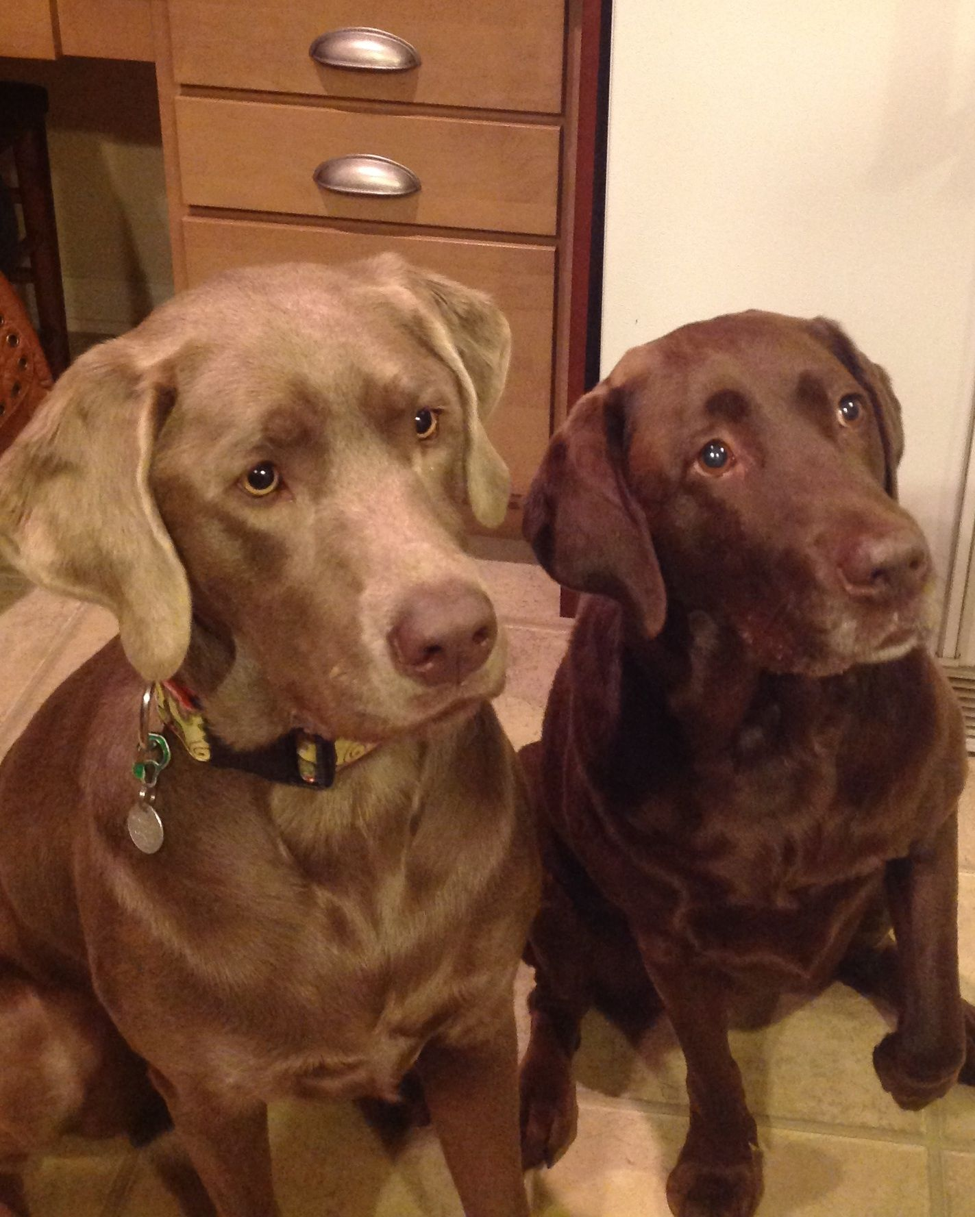 Gertie silver lab chloe chocolate lab silver and