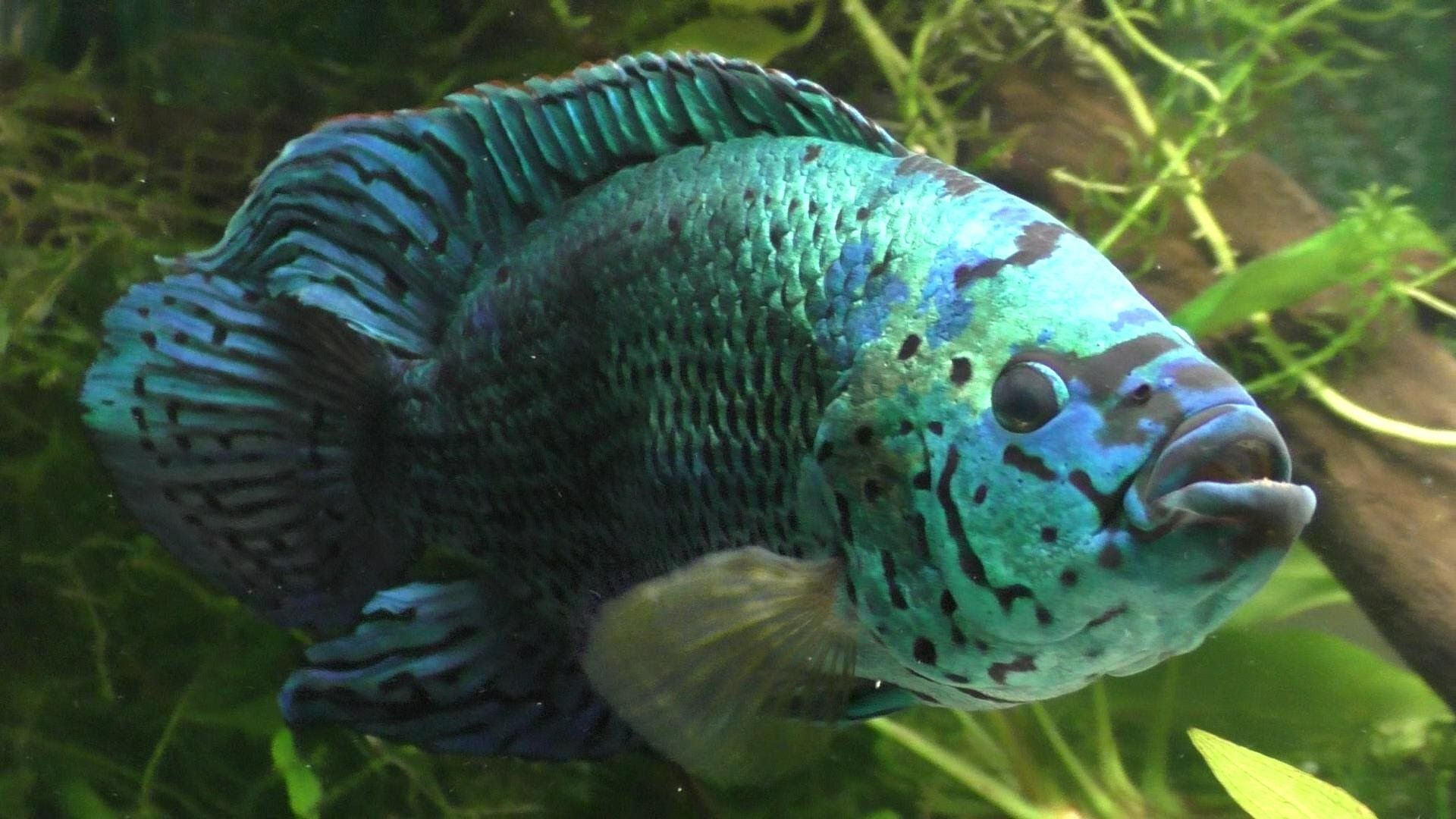 Hand Feeding Worms To My Electric Blue Jack Dempsey Freshwater
