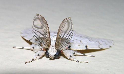 Poodle Moth Antenna Motte Nachtfalter Insekten