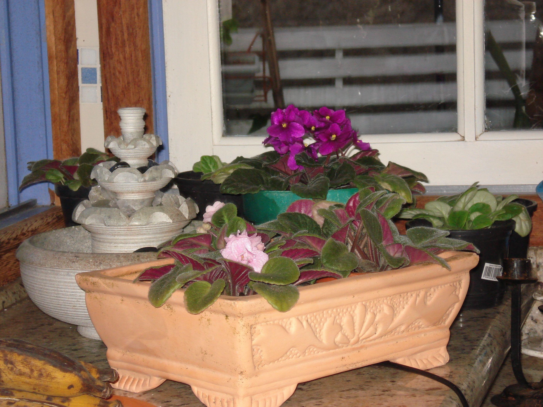 cultivando Violetas na cozinha