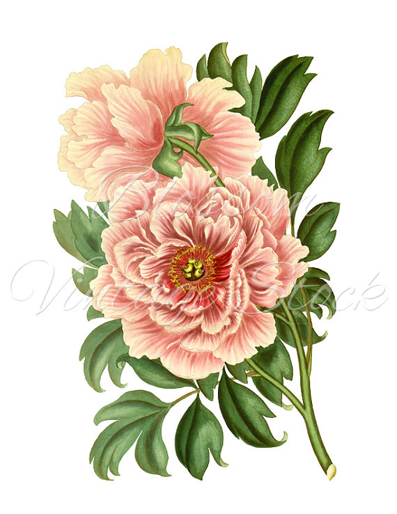 peony clipart vintage graphic pink peony digital image antique rh pinterest com pony clip art pony clip art