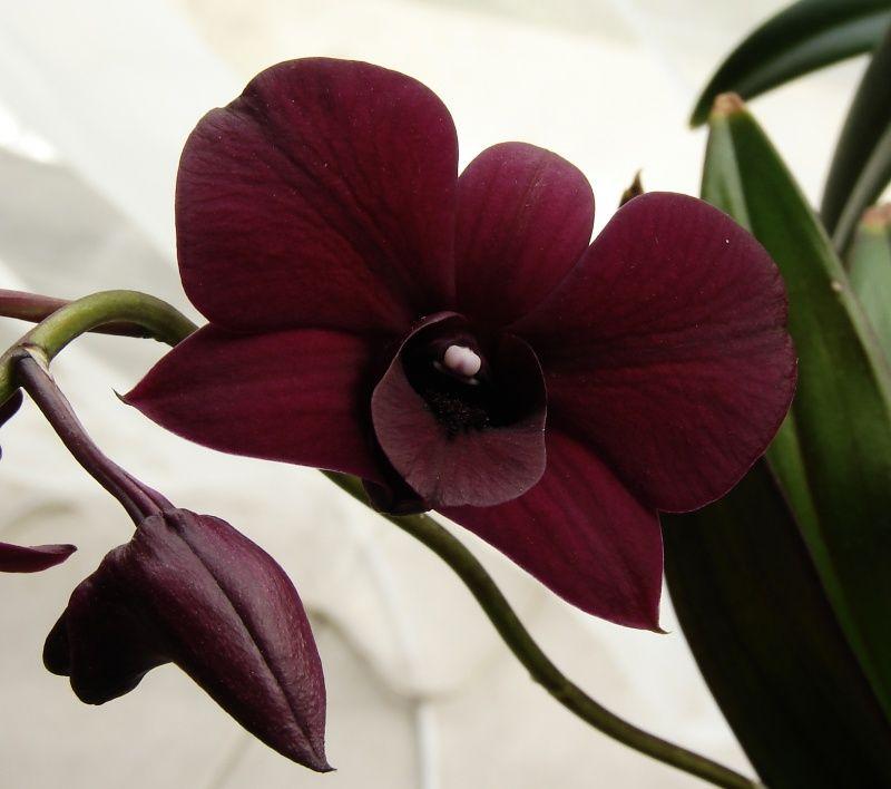 Dendrobium phalaenopsis - Pesquisa Google