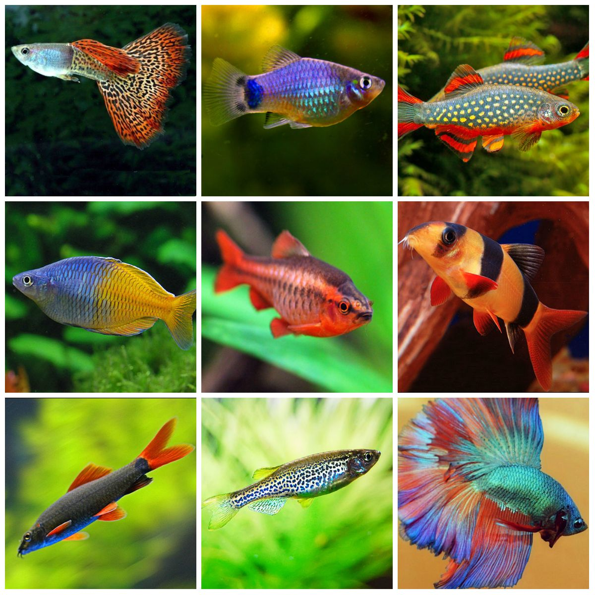 Freshwater aquarium fish rasbora - Freshwater Tank Stocking Initial Thoughts Snakeskin Guppy Blue Platy Galaxy Rasbora