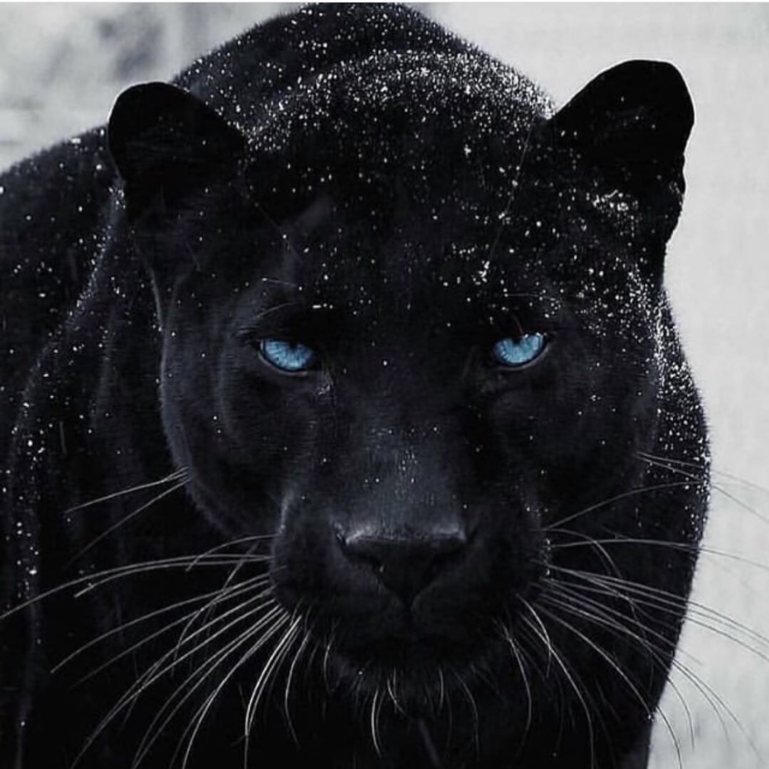 Black panther with some beautiful blue eyes. (With images