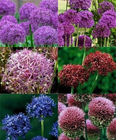 Collection T The Must Plant Allium Sampler New Miscellaneous Best Of The Rest Flower Bulbs Index Bulb Flowers Plants Special Flowers