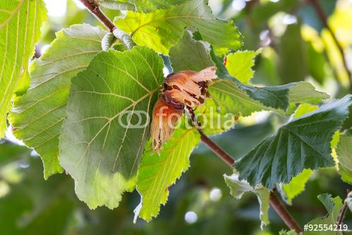 Hazelnuts on the branch