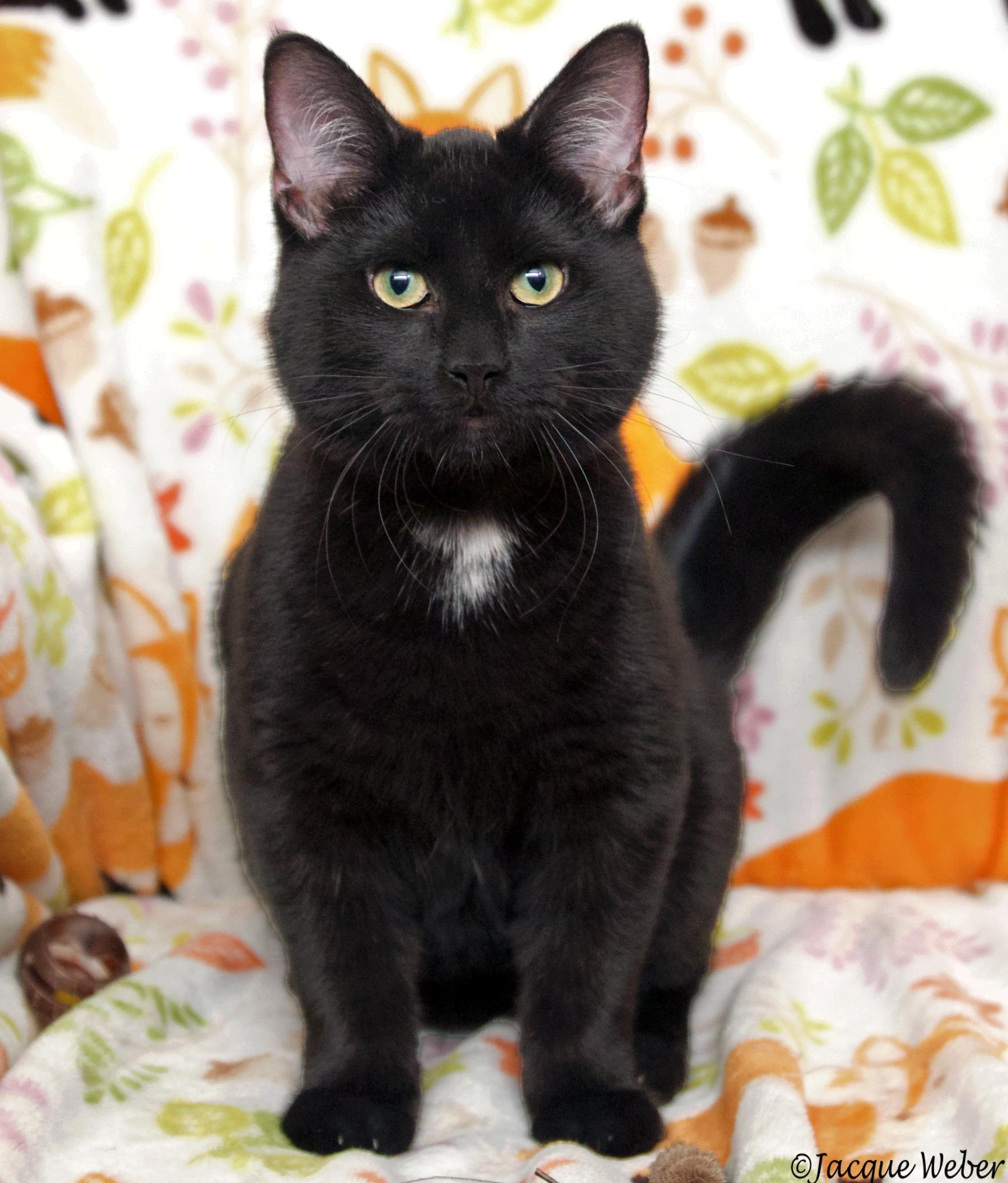 Adopt Desmond on Cat adoption, Pet adoption, Cats